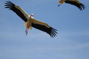 vliegende ooievaars