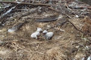 kuikens in nest
