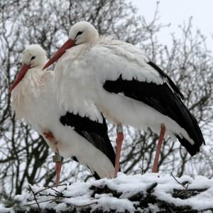ooievaars in sneeuw